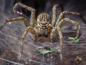 Cамка паука